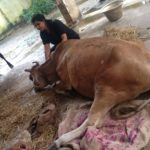 Suchitra S Rao rescuing a Cow who was injured during Chennai Floods 2015