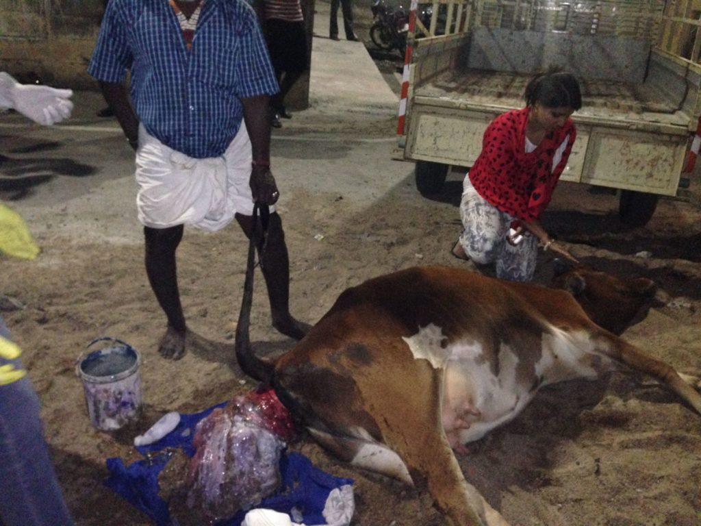 Suchitra S Rao giving Ist aid to a rescued Cow who had a uterus prolapse